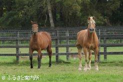 研修用馬となる2頭のハフリンガー